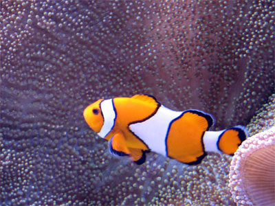 Click here to download a 2592 x 1944 JPG image showing a Clown Fish swimming in the Aquarium at the Pier.